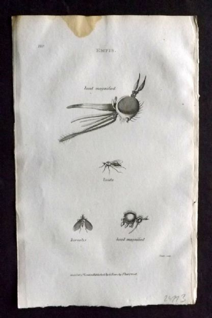 Shaw 1805 Antique Insect Print. Empis 110
